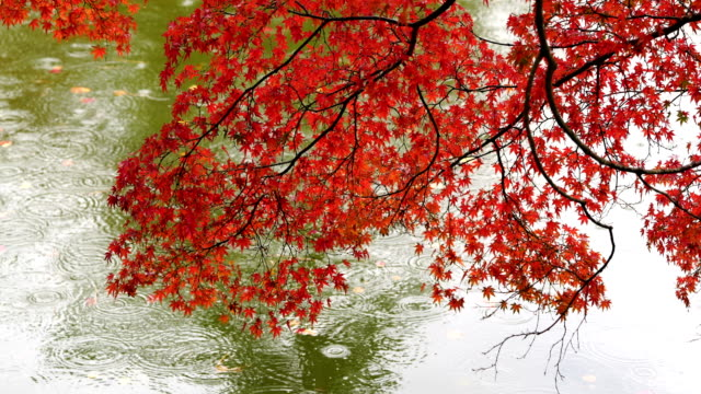 japanese garden in fall colours - autumn leaf color stock videos & royalty-free footage