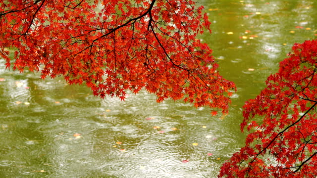 japanese garden in fall colours - maple leaf stock videos & royalty-free footage