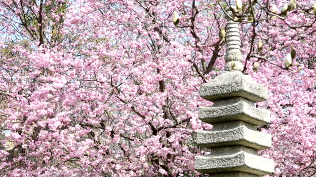 Japanese Garden with pink cherry blossom