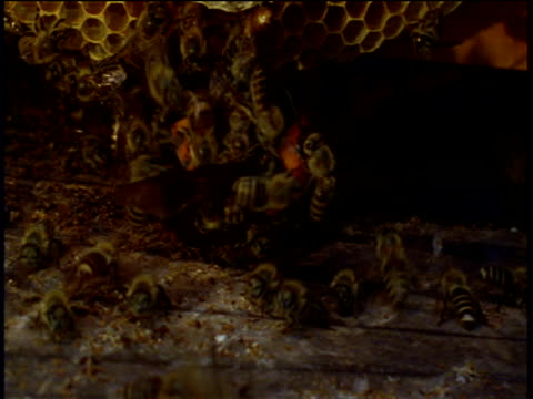 japanese honey bees attack and swarm over japanese hornet inside bee hive - groß stock-videos und b-roll-filmmaterial