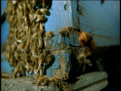Japanese hornet attacks European honey bees on wooden hive
