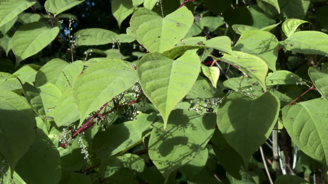 japanese knotweed, fallopia japonica, in rural scotland - johnfscott stock videos and b-roll footage