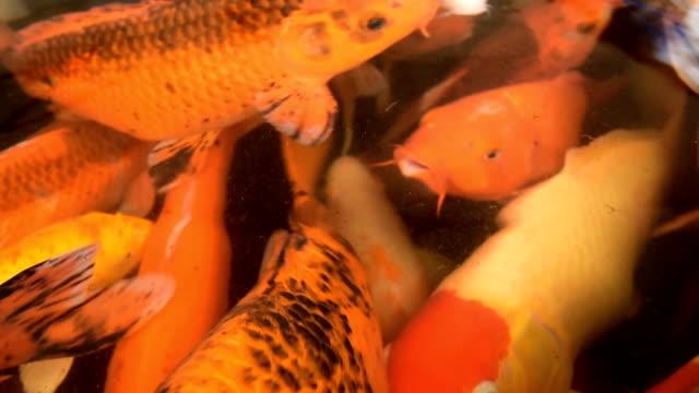 Japanese Koi swim in pond