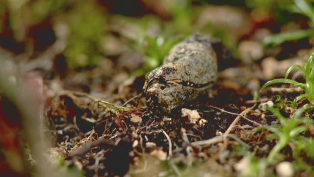 a japanese luehdorfia emerges from a chrysalis - invertebrate stock videos & royalty-free footage