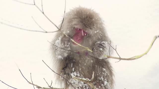MS ZO Japanese Macaque (Macaca fuscata) chewing twig on snow / Jigokudani, Nagano prefecture, Japan
