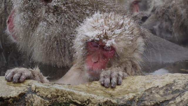 stockvideo's en b-roll-footage met japanese macaque (macaca fuscata), close up dozing in thermal bath, onsen of jigokudani yaenkoen, nagano prefecture, japan - warmwaterbron