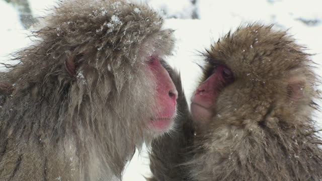 CU Japanese Macaque (Macaca fuscata) grooming other monkey in snow / Jigokudani, Nagano prefecture, Japan