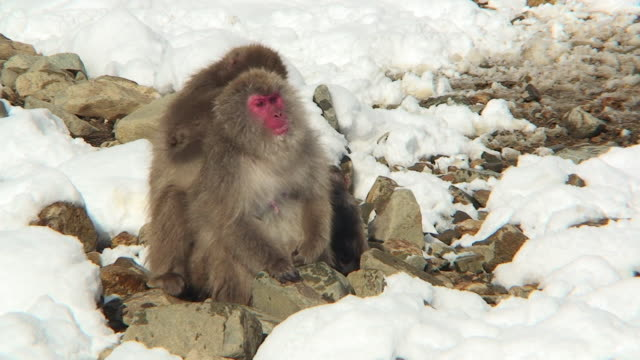 WS Japanese Macaque (Macaca fuscata) grooming other monkey on rocks in snow / Jigokudani, Nagano prefecture, Japan