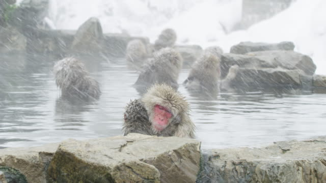 japanese macaque in monkey park, close up - insel honshu stock-videos und b-roll-filmmaterial