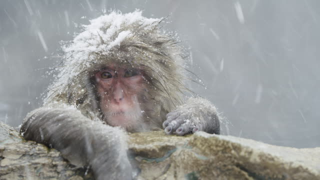 japanese macaque in zoo during snowstorm, close up - macaque stock videos & royalty-free footage