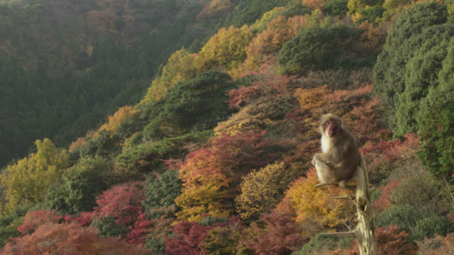 japanese macaque (macaca fuscata) looks around in forest, japan - macaque stock videos and b-roll footage