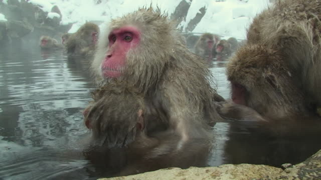 stockvideo's en b-roll-footage met cu japanese macaque (macaca fuscata) nursing baby in hot spring / jigokudani, nagano prefecture, japan - dierenverzorging