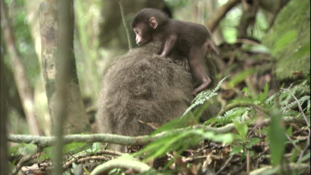 stockvideo's en b-roll-footage met japanese macaque of yakushima - dierenfamilie