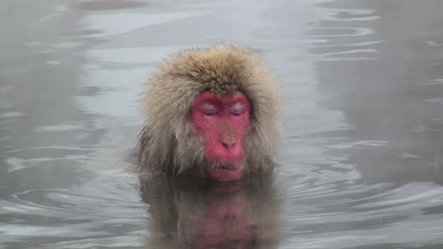 cu japanese macaque (macaca fuscata) sitting in hot spring / jigokudani, nagano prefecture, japan - nagano prefecture stock videos & royalty-free footage