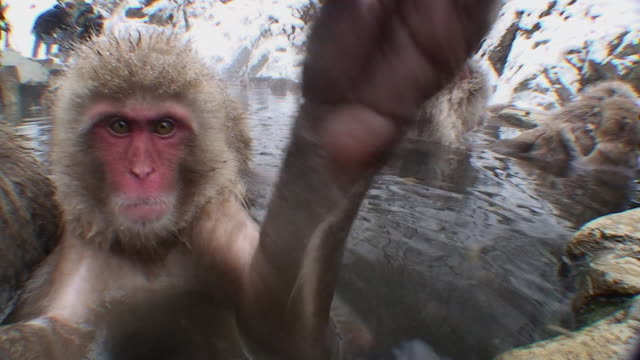 cu japanese macaque (macaca fuscata) sitting in hot spring, touching camera / jigokudani, nagano prefecture, japan - spring flowing water stock videos and b-roll footage