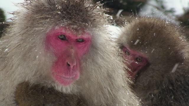 CU Japanese Macaque (Macaca fuscata) sitting in snow / Jigokudani, Nagano prefecture, Japan