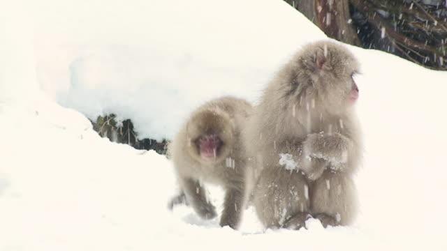 WS Japanese Macaque (Macaca fuscata) sitting on snow / Jigokudani, Nagano prefecture, Japan