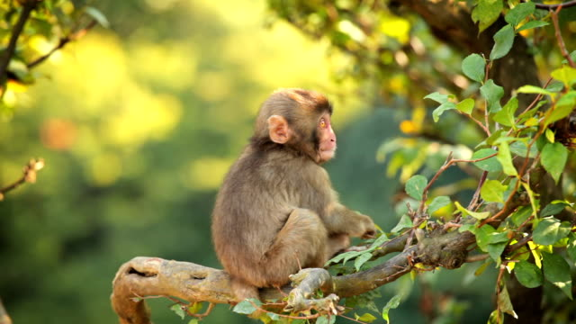 japanese macaque (snow monkey) - primate stock videos and b-roll footage