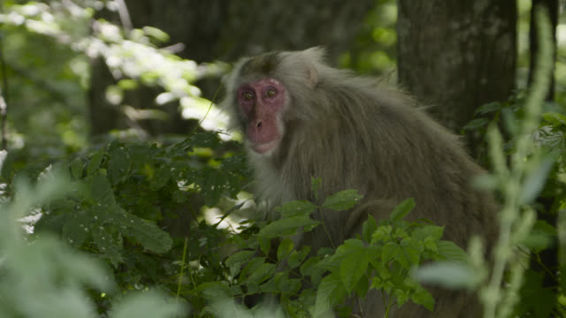 japanese macaque with baby, japan. - following stock videos & royalty-free footage