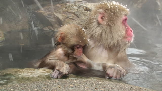 stockvideo's en b-roll-footage met ms pan japanese macaque (macaca fuscata) with baby sitting in hot spring / jigokudani, nagano prefecture, japan - dierenfamilie