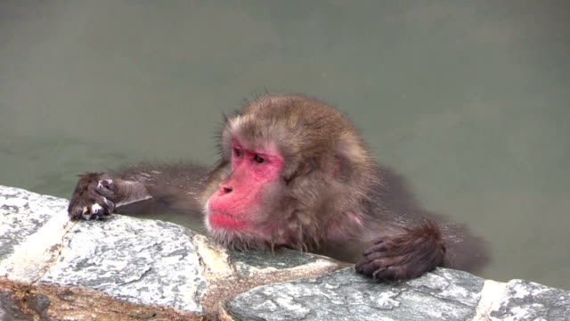 Japanese macaques began their annual hot spring soaking season here to help stay warm until the thaw of spring Desember 1 2015 in Hakodate Japan When...