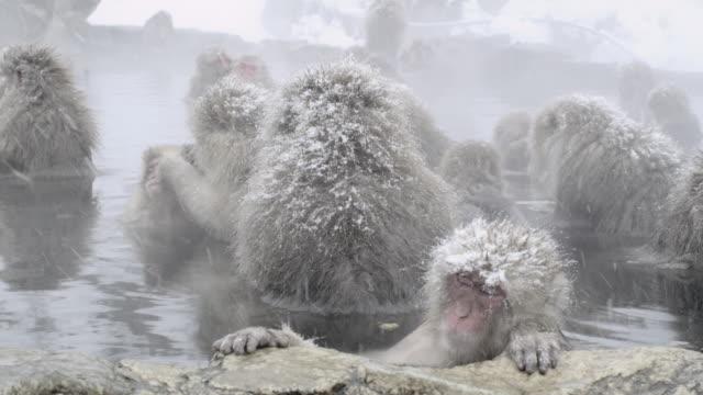 stockvideo's en b-roll-footage met japanese macaques (macaca fuscata) enjoy bath, onsen of jigokudani yaenkoen, nagano prefecture, japan - warmwaterbron