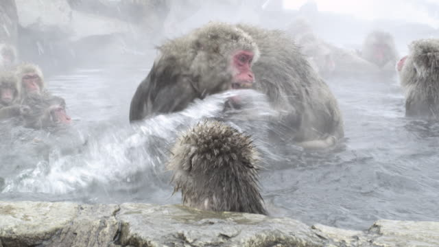 japanese macaques (macaca fuscata) fight in thermal bath, onsen of jigokudani yaenkoen, nagano prefecture, japan - primate stock videos & royalty-free footage
