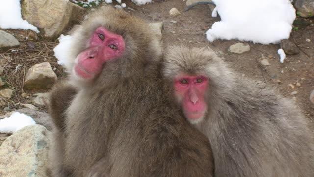 MS Japanese Macaques (Macaca fuscata) huddling / Jigokudani, Nagano prefecture, Japan