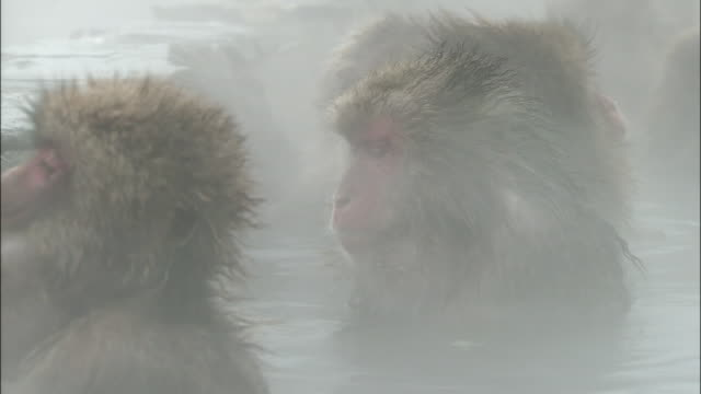 japanese macaques in hot spring, jigokudani monkey park, hakodate, hokkaido - jigokudani monkey park stock videos & royalty-free footage