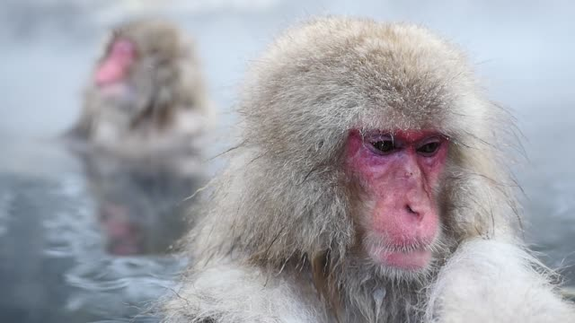 Japanese Macaques in Onsen