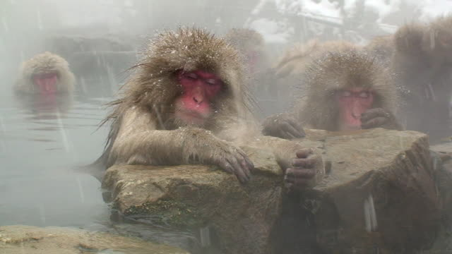 MS Japanese Macaques (Macaca fuscata) leaning on rocks in hot spring and napping / Jigokudani, Nagano prefecture, Japan