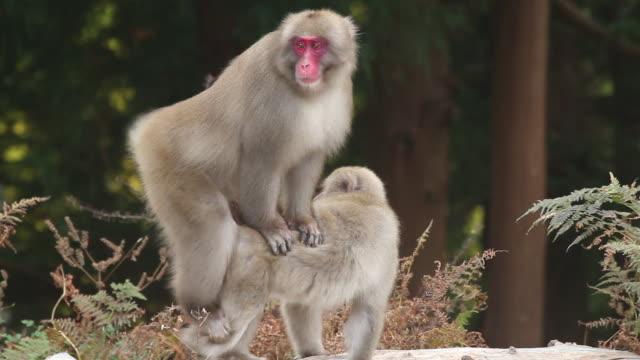 japanese macaques mating, kinkazan island, japan - monkey stock videos and b-roll footage