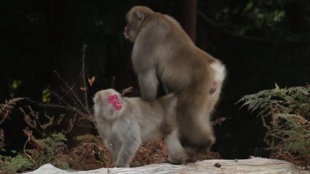 japanese macaques mating, kinkazan island, japan - monkey stock videos and b-roll footage