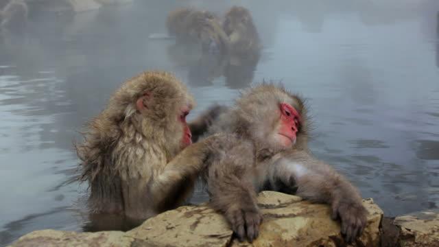 japanese macaques ( macaca fuscata ) monkeys, jigokudani nature reserve, chubu, japan, asia - 温泉点の映像素材/bロール