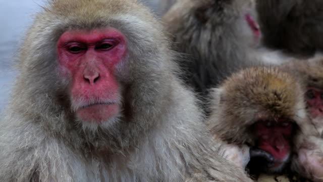 vídeos de stock e filmes b-roll de japanese macaques ( macaca fuscata ) monkeys, jigokudani nature reserve, chubu, japan, asia - grupo pequeno de animais