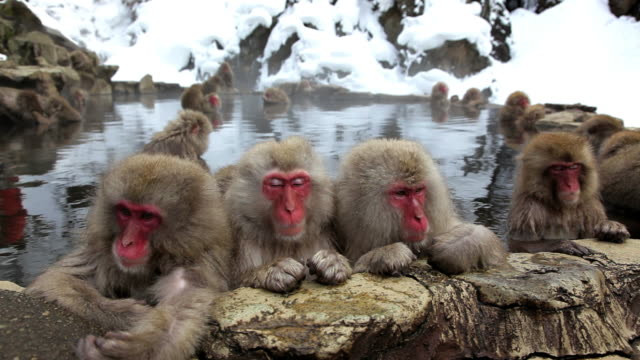 japanese macaques ( macaca fuscata ) monkeys, jigokudani nature reserve, chubu, japan, asia - hot spring stock videos & royalty-free footage
