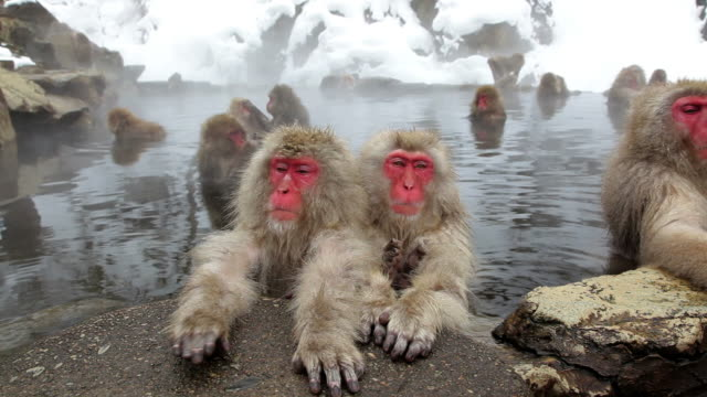 Japanese Macaques ( Macaca Fuscata ) monkeys, Jigokudani nature reserve, Chubu, Japan, Asia