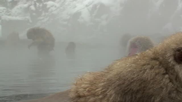 MS Japanese Macaques (Macaca fuscata) sitting in hot spring / Jigokudani, Nagano prefecture, Japan