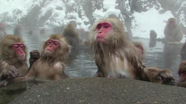 vídeos y material grabado en eventos de stock de ms pan japanese macaques (macaca fuscata) sitting in hot spring / jigokudani, nagano prefecture, japan - acicalarse
