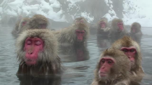 MS ZO Japanese Macaques (Macaca fuscata) sitting in hot spring / Jigokudani, Nagano prefecture, Japan