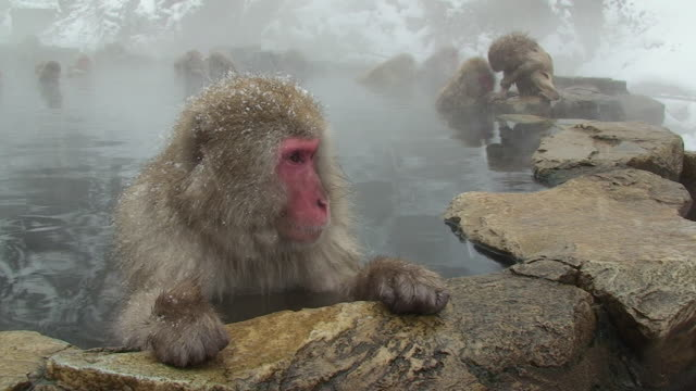 ms japanese macaques (macaca fuscata) sitting in hot spring, male in foreground leaning on rock and getting out of pool / jigokudani, nagano prefecture, japan - macaque stock videos & royalty-free footage