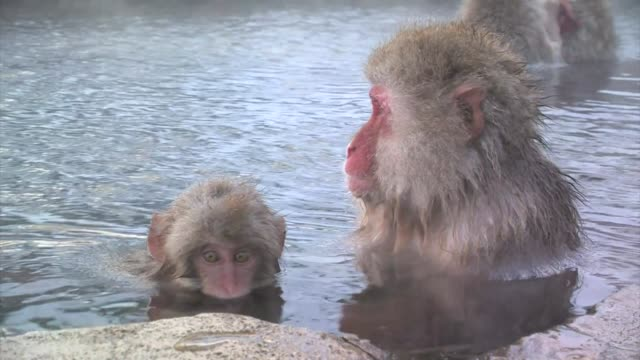 japanese macaques (macaca fuscata) - jigokudani monkey park stock videos & royalty-free footage