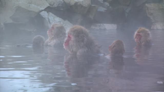 japanese macaques (macaca fuscata) - hot spring stock videos & royalty-free footage