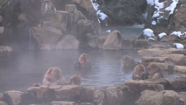 japanese macaques (macaca fuscata) - panning stock videos & royalty-free footage
