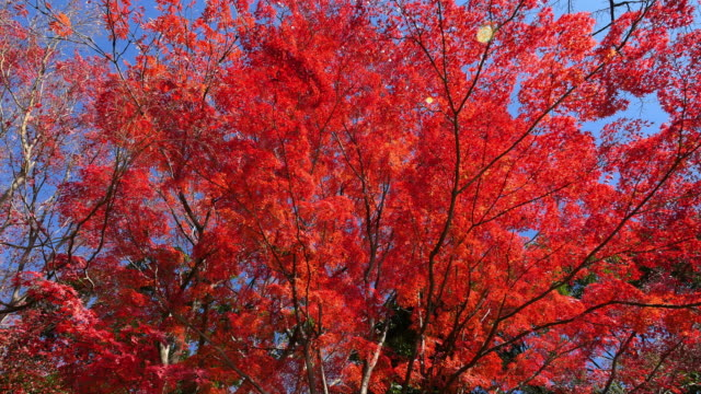 japanese maple leaves in autumn moving slider shot at koishikawa korakuen gardens - autumn leaf color stock videos and b-roll footage