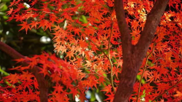 japanese maple leaves in autumn moving slider shot at koishikawa korakuen gardens - japanese maple stock videos & royalty-free footage
