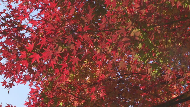 japanese maple leaves in autumn - autumn leaf color stock videos and b-roll footage