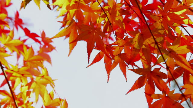 CU Japanese maple leaves swaying by wind / Bunkyu, Tokyo, Japan