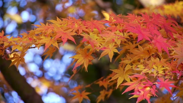 japanese maple leaves - japanese maple stock videos & royalty-free footage