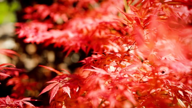 japanese maple plant leaves swaying in soft summer wind on sunny day - japanese maple stock videos & royalty-free footage